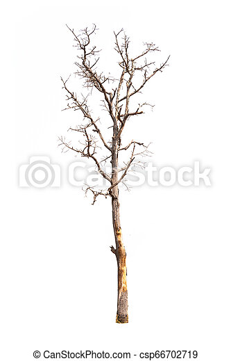 Single old and dead tree isolated on white background - csp66702719