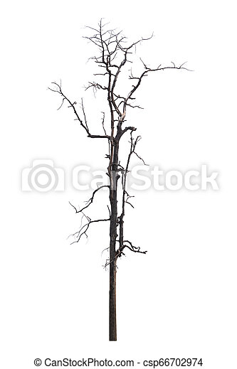 Single old and dead tree isolated on white background - csp66702974