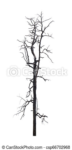 Single old and dead tree isolated on white background - csp66702968