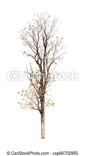 Single old and dead tree isolated on white background - csp66702955