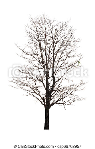 Single old and dead tree isolated on white background - csp66702957