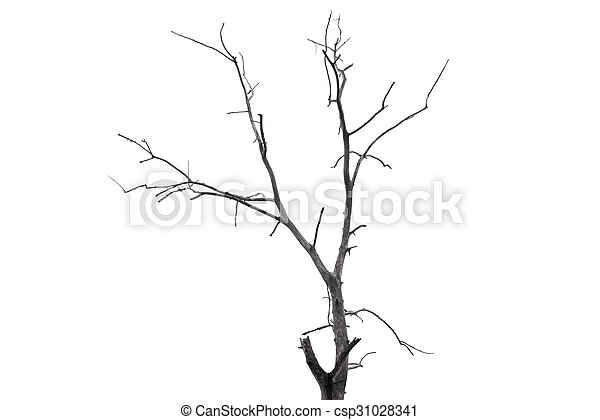 Single old and dead tree isolated on white background - csp31028341