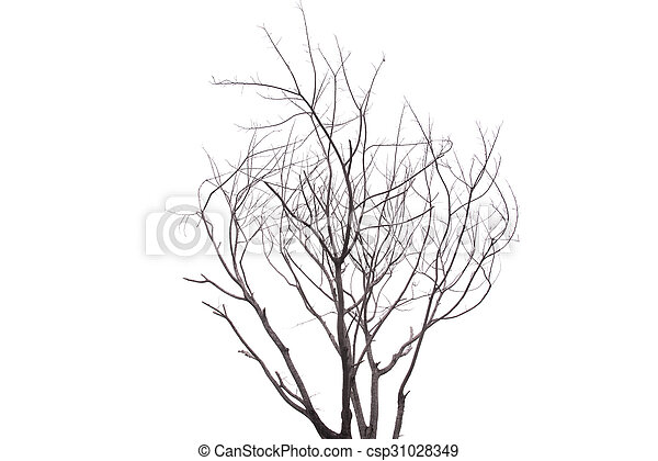 Single old and dead tree isolated on white background - csp31028349