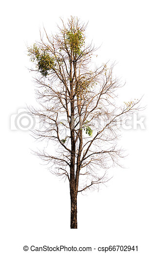 Single old and dead tree isolated on white background - csp66702941