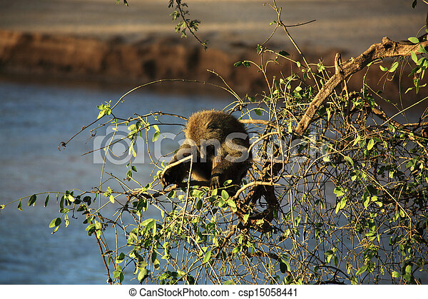 Single olive baboon in a tree - csp15058441