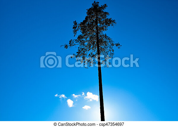 Single pine against the sun and blue sky - csp47354697
