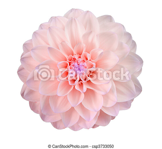 Single pink flower isolated on white background close up stock single pink flower csp3733050 mightylinksfo