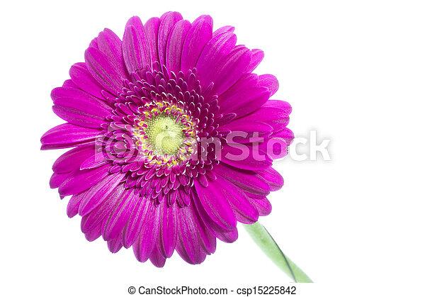 Single pink gerbera flower on white background stock photo search single pink gerbera flower on white csp15225842 mightylinksfo Choice Image