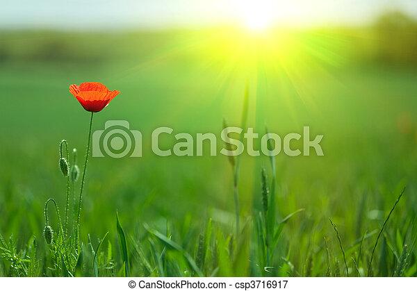 single poppy in sunlight - csp3716917