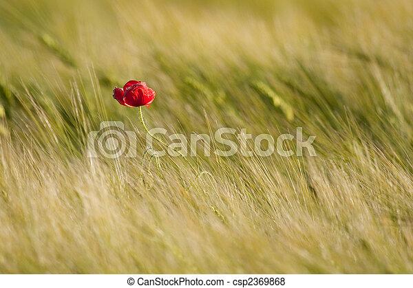 Single poppy - csp2369868