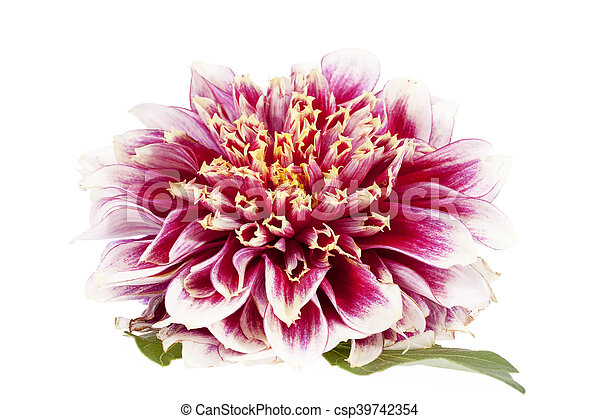 Single red flower of aster isolated on white background close up mightylinksfo