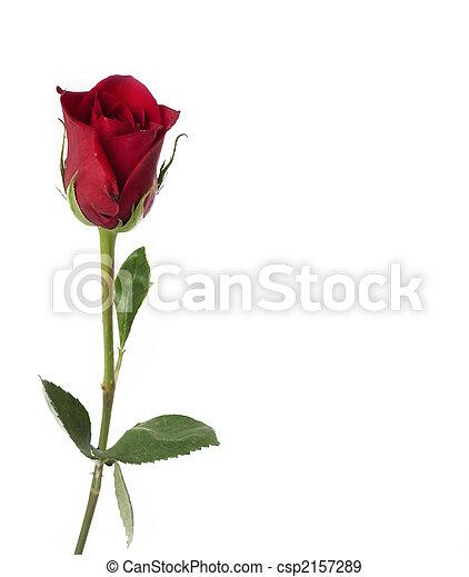 Single red rose - csp2157289