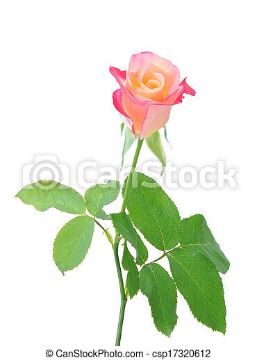 single rose - csp17320612