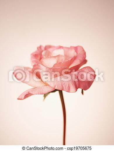 Single Rose - csp19705675