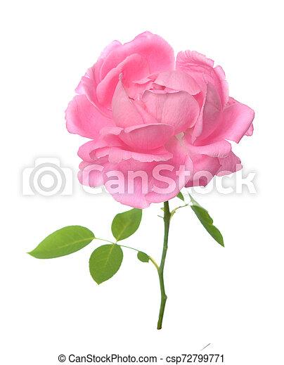 single rose - csp72799771