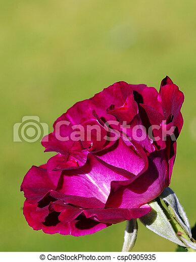 Single Rose - csp0905935