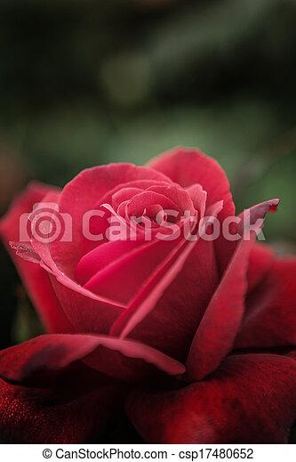 single rose - csp17480652