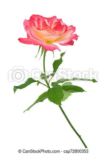 single rose - csp72800353