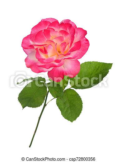 single rose - csp72800356