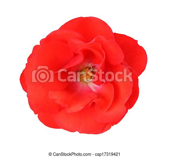 single rose - csp17319421