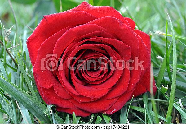 single rose - csp17404221