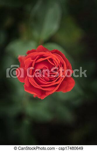 single rose - csp17480649