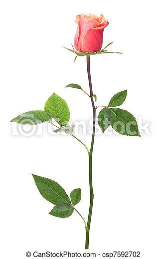 single rose - csp7592702