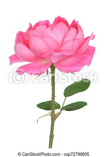 single rose - csp72799805