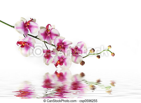 Single Stem of Orchid Flower on Water - csp0596255