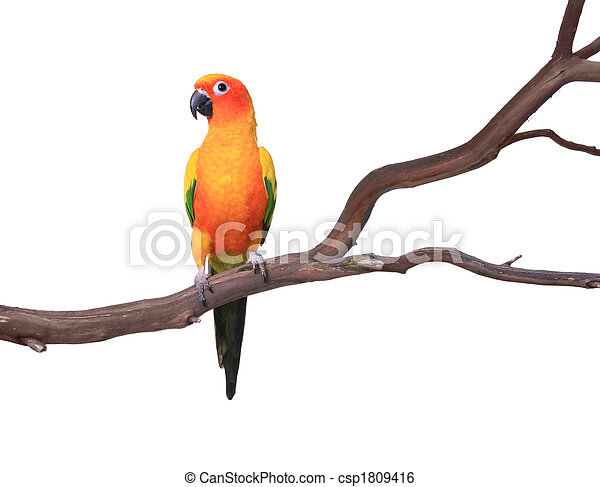 Single Sun Conure Parrot on a Tree Branch - csp1809416