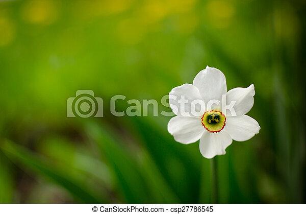 Single white daffodil in bloom solitary white daffodil flower single white daffodil in bloom csp27786545 mightylinksfo