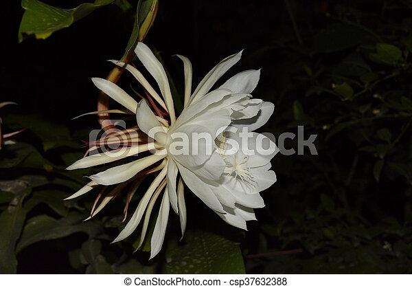 Single white flower single white night blooming jasmine flower picture single white flower csp37632388 mightylinksfo