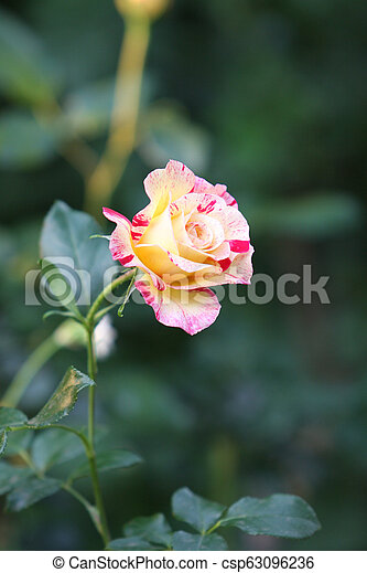 Single yellow and pink rose - csp63096236
