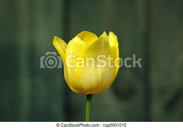 single yellow tulip - csp0001015
