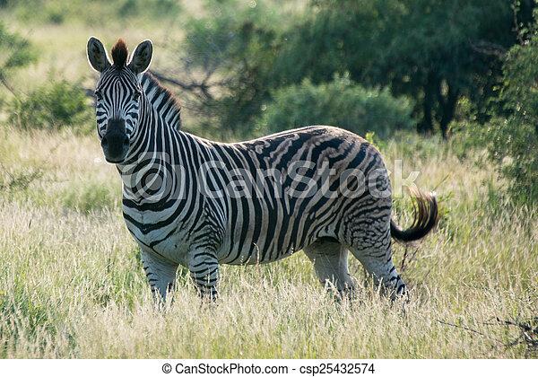 Single Zebra - csp25432574