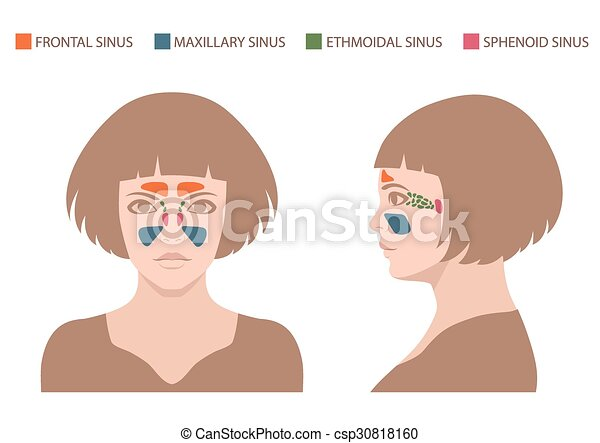 Vector Nose Illustration Sinus Anatomy Human Respiratory System