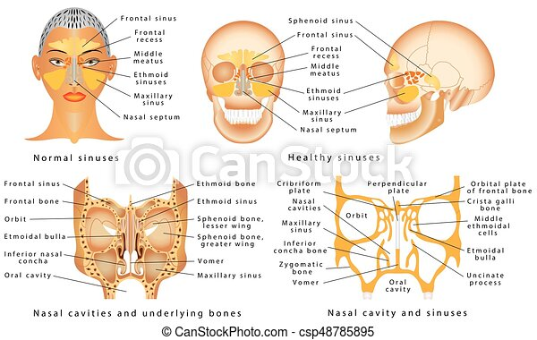 Sinuses of nose. anatomy of the nose. nasal cavity bones. anatomy of ...
