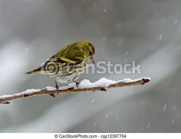 Siskin in the snow - csp12397704