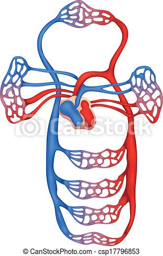 Sistema circulatorio - csp17796853