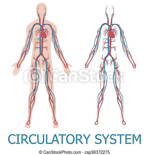 Sistema circulatorio, humano. Circulatorio, cuerpo, circulación ...