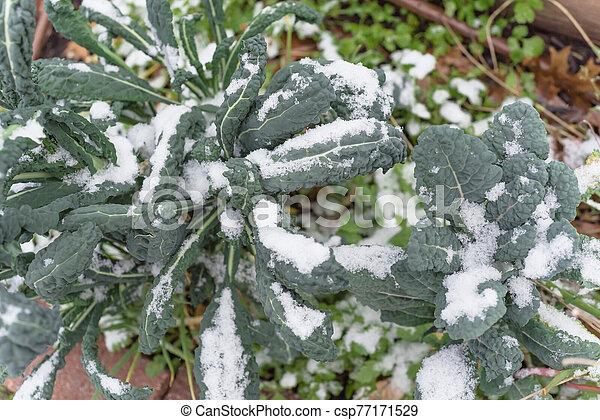 sistema, col rizada, nieve, irrigación, cama, cubierta, dallas, tejas, levantado, lacinato - csp77171529