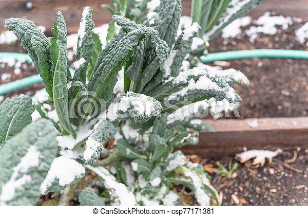 sistema, col rizada, nieve, irrigación, cama, cubierta, dallas, tejas, levantado, lacinato - csp77171381