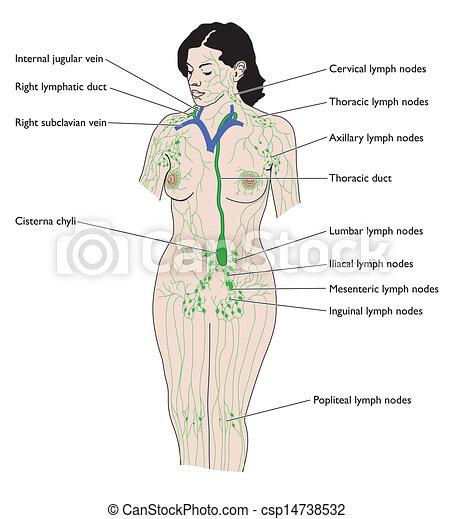 rotulado, sistema linfático.