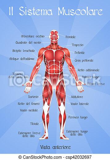 Sistema, muscular. Ilustración, sistema muscular.
