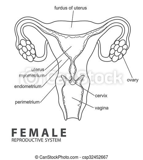 Sistema reproductor femenino. Ilustración, hembra, vector, sistema ...