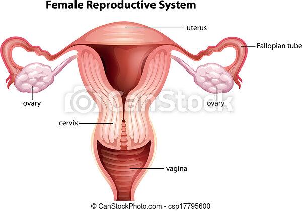 Ilustración, sistema reproductor femenino.