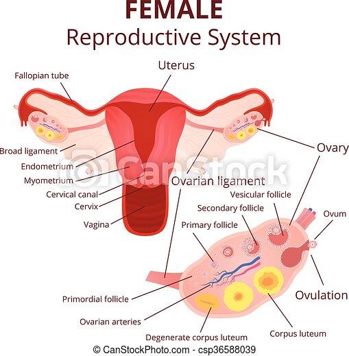 Sistema reproductor femenino. Menstrual, sistema reproductor ...