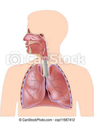 El sistema respiratorio - csp11687412