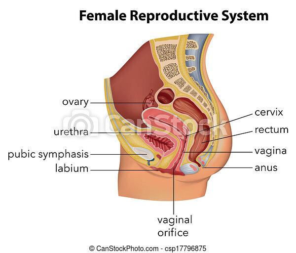 sistema riproduttivo femminile - csp17796875