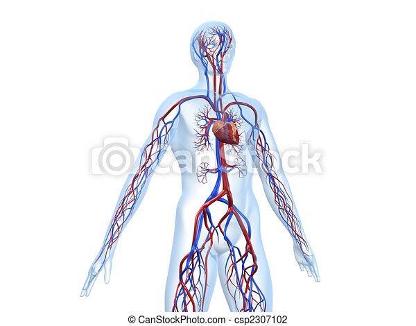 Sistema, vascular. Cuerpo, rendido, sistema, ilustración, vascular ...